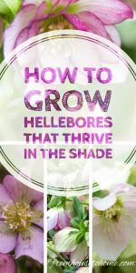 Hellebore Care: How to Grow Shade-Loving Lenten Rose