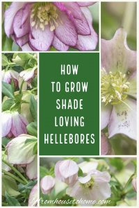 How to grow shade loving Hellebores