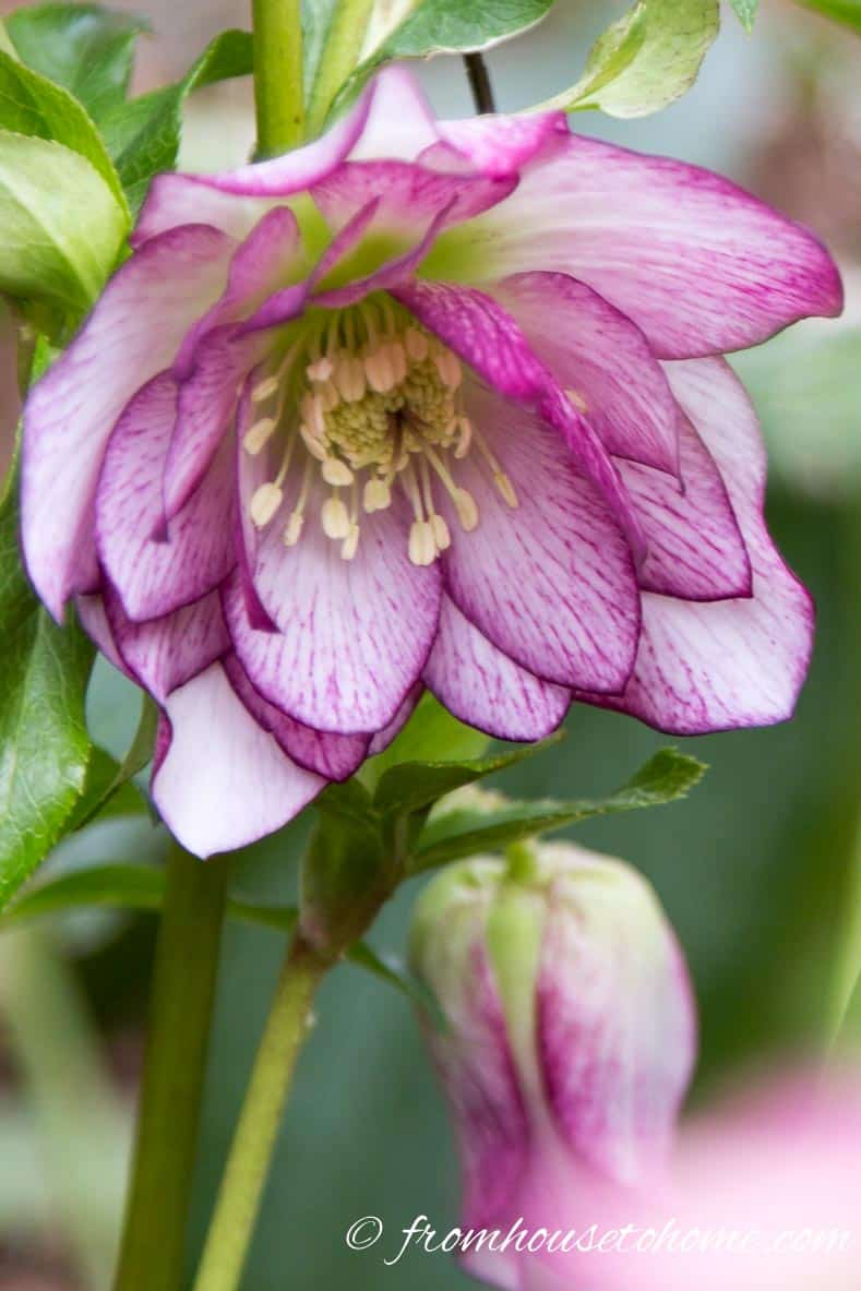 Hellebore with picotee flowers
