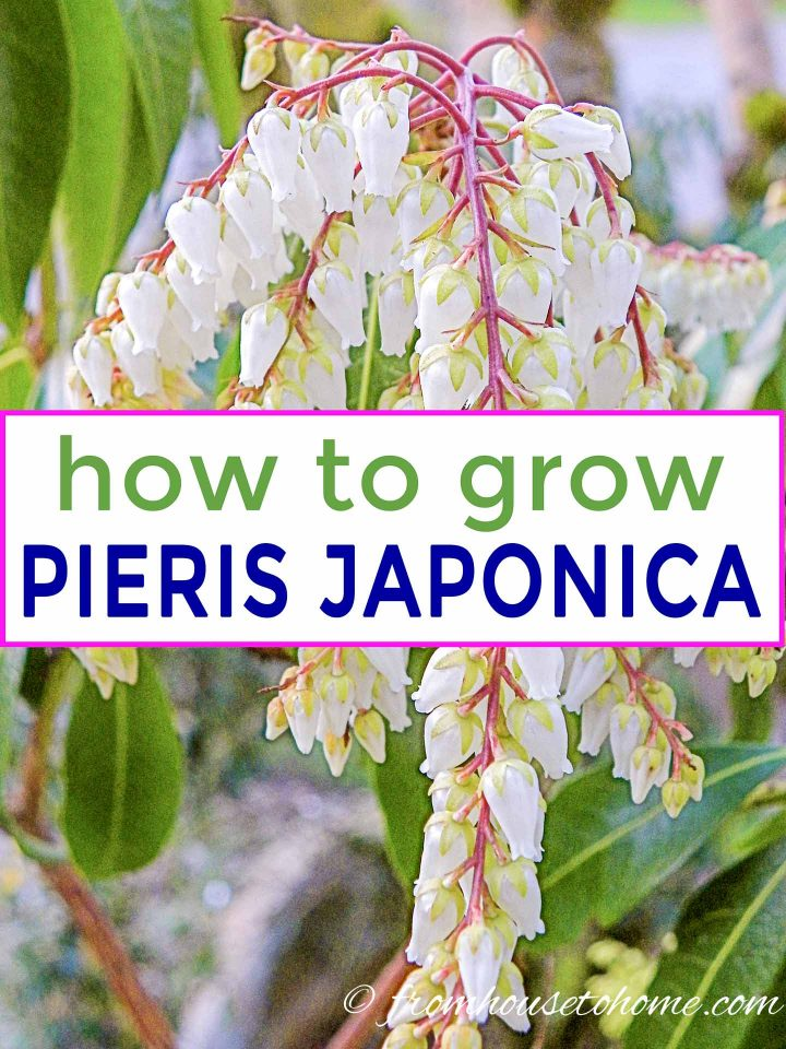 how to grow Japanese Pieries