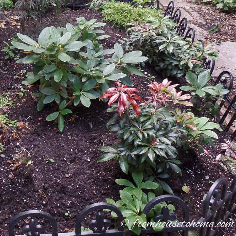 These tips for growing Pieris Japonica are the BEST! I love that it adds interest to the garden all year round. Now I know what to plant in the shady part of my backyard! Definitely pinning! #pieris #pierisjaponica | How to Grow Japanese Pieris #shadeplants #shrubs #bushes #gardening #gardenideas #japanesepieris #plants #perennial #flowers