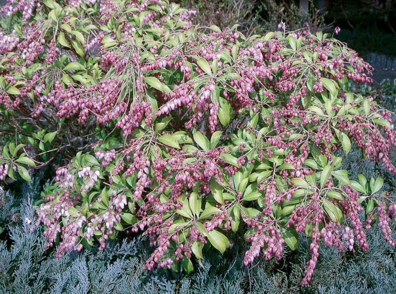 These tips for growing Pieris Japonica are the BEST! I love that it adds interest to the garden all year round. Now I know what to plant in the shady part of my backyard! Definitely pinning! #pieris #pierisjaponica | How to Grow Japanese Pieris #shadeplants #shrubs #bushes #gardening #gardenideas #japanesepieris #plants #perennial #flowers | Photo by KENPEI [GFDL, CC-BY-SA-3.0 or CC BY-SA 2.1 jp], via Wikimedia Commons