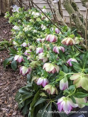 Hellebores make a great addition to the shade garden border