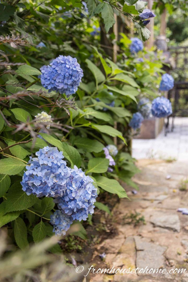 Some types of hydrangeas grow well in the shade