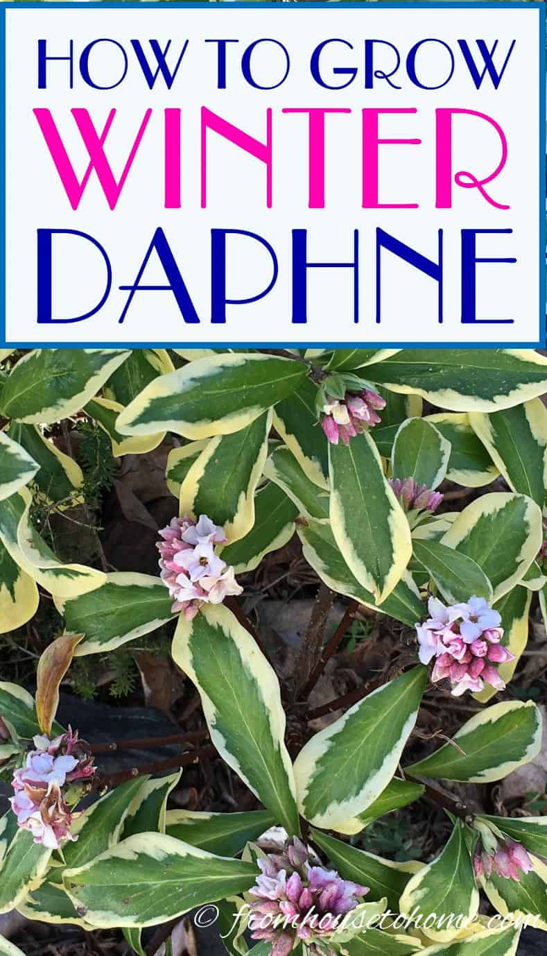How to grow Winter Daphne