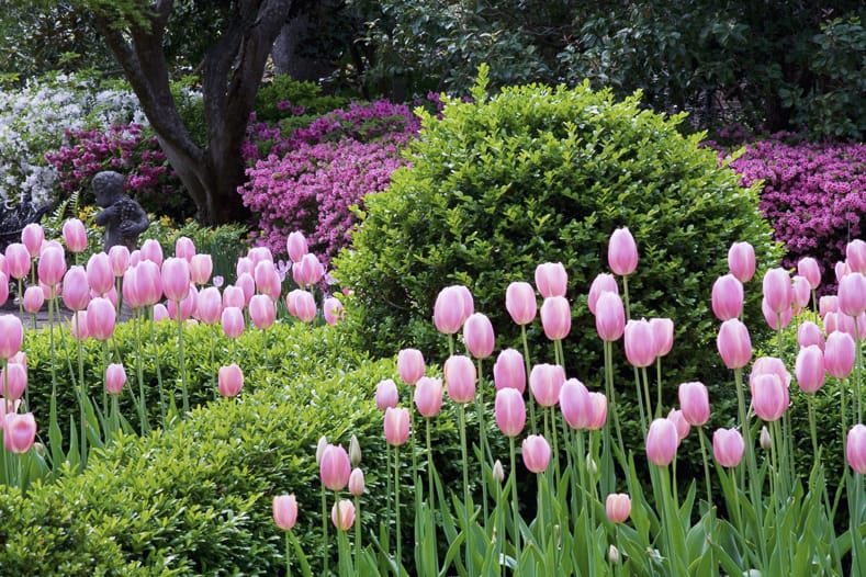 Tulips with evergreens