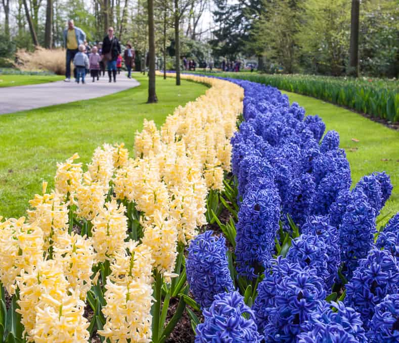 Lots of hyacinths