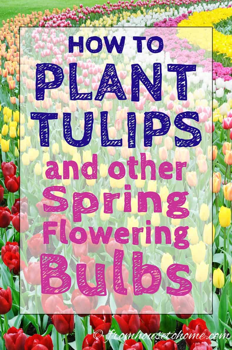 How To Plant Tulips And Other Spring Flowering Bulbs Gardening