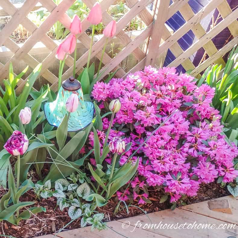 Rhododendron and bulbs