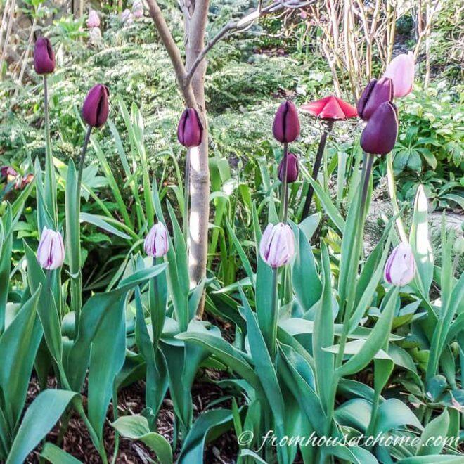 spring bulbs tulips