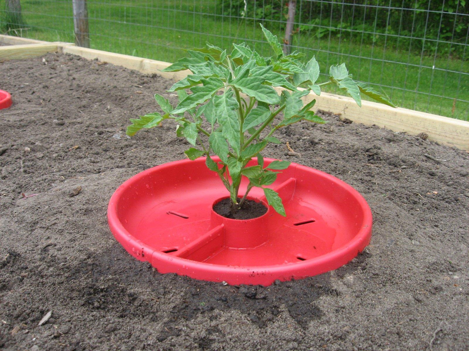 Tomato crater surrounding plant