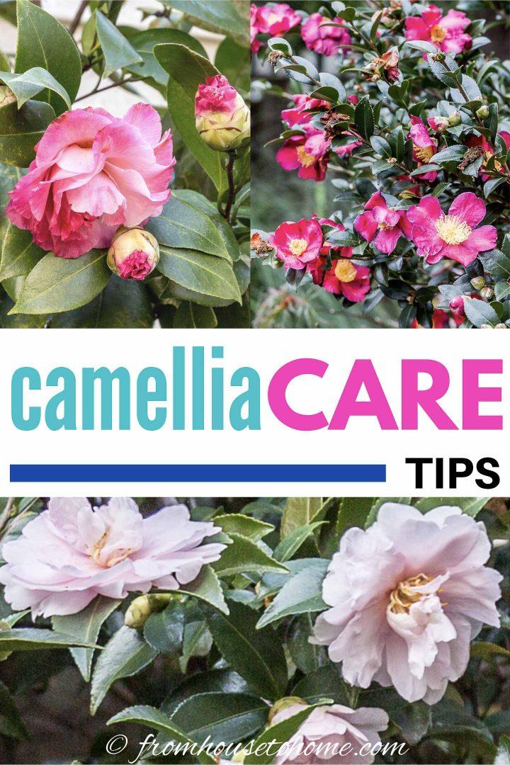 Camellia care tips
