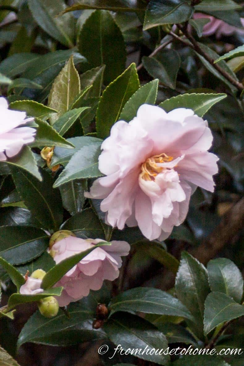 Camellia japonica 'Mrs D.W. Davis'