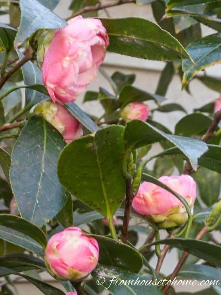 Camellia Care: How To Grow Beautiful Camellias