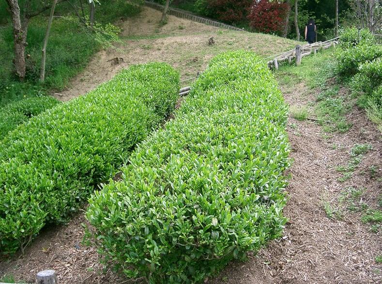 Camellia sinensis or Tea Camellia