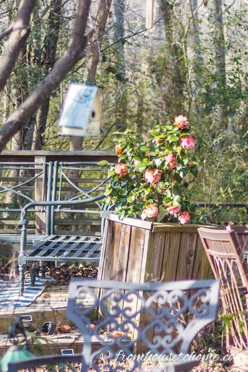 Camellia in a container by the deck