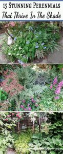 ground cover perennials that thrive in the shade