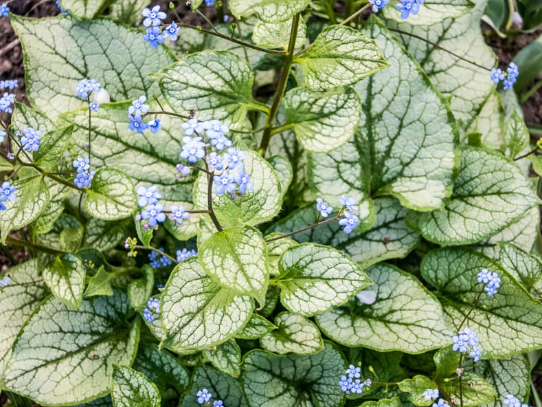 Brunnera with patterned leaves | © zgurski1980 - stock.adobe.com