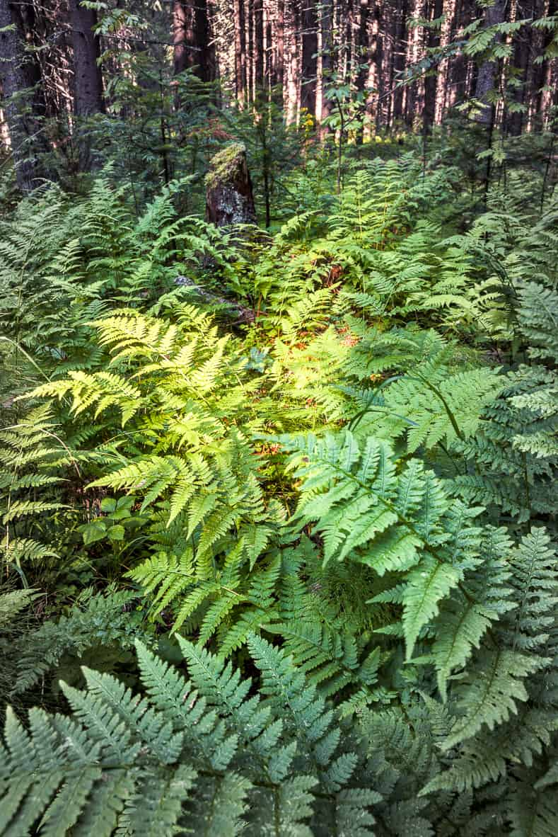 Ferns | © smolskyevgeny - stock.adobe.com
