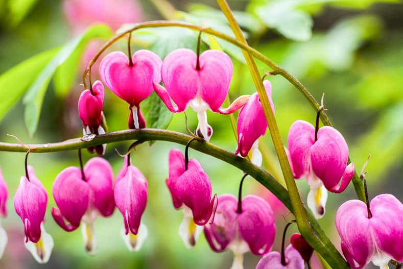 Bleeding heart flowers (Dicentra spectabils) | © serhii - stock.adobe.com