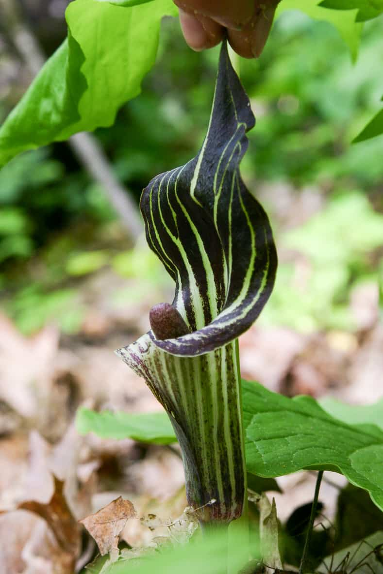 Jack in the Pulpit | © Matthew Antonino - stock.adobe.com