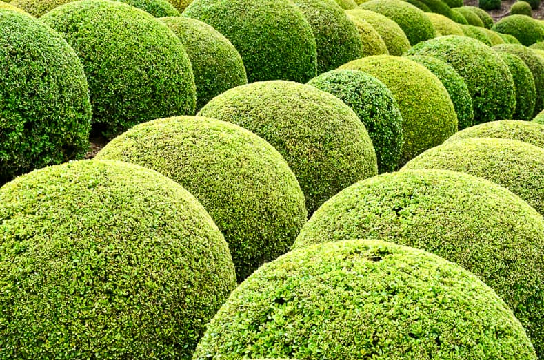 Boxwood - Green garden balls in France | © wjarek - stock.adobe.com