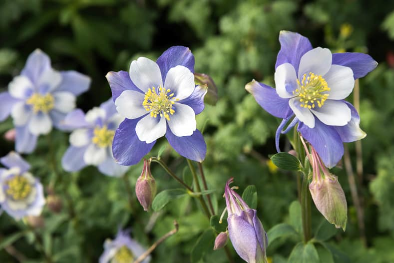 Rocky Mountain Blue Columbine Flowers | © Casey E Martin - stock.adobe.com