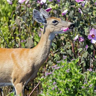 White-tailed Deer eating flowers