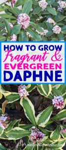 How To Grow Daphne