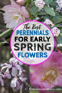 The best perennials for early spring flowers