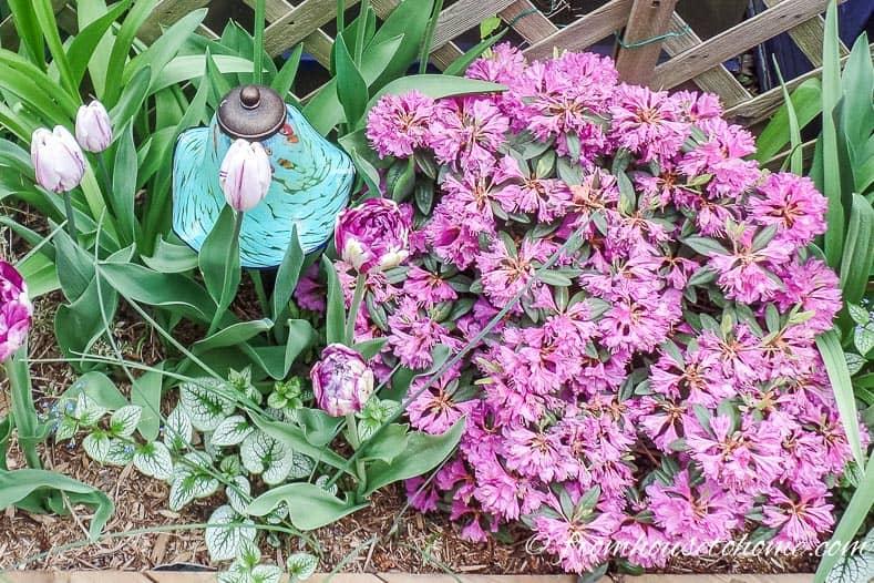 PJM Rhododendron