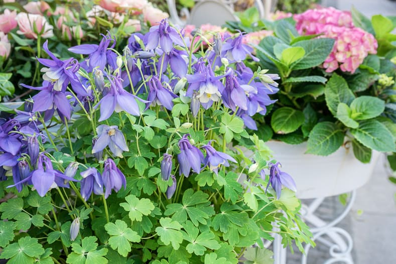 Perennials With Blue Flowers - Columbine ©Cora Müller - stock.adobe.com