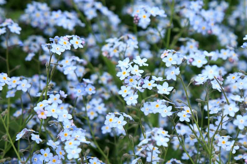 Background of many blue flowers forget-me-not ©fotokate - stock.adobe.com