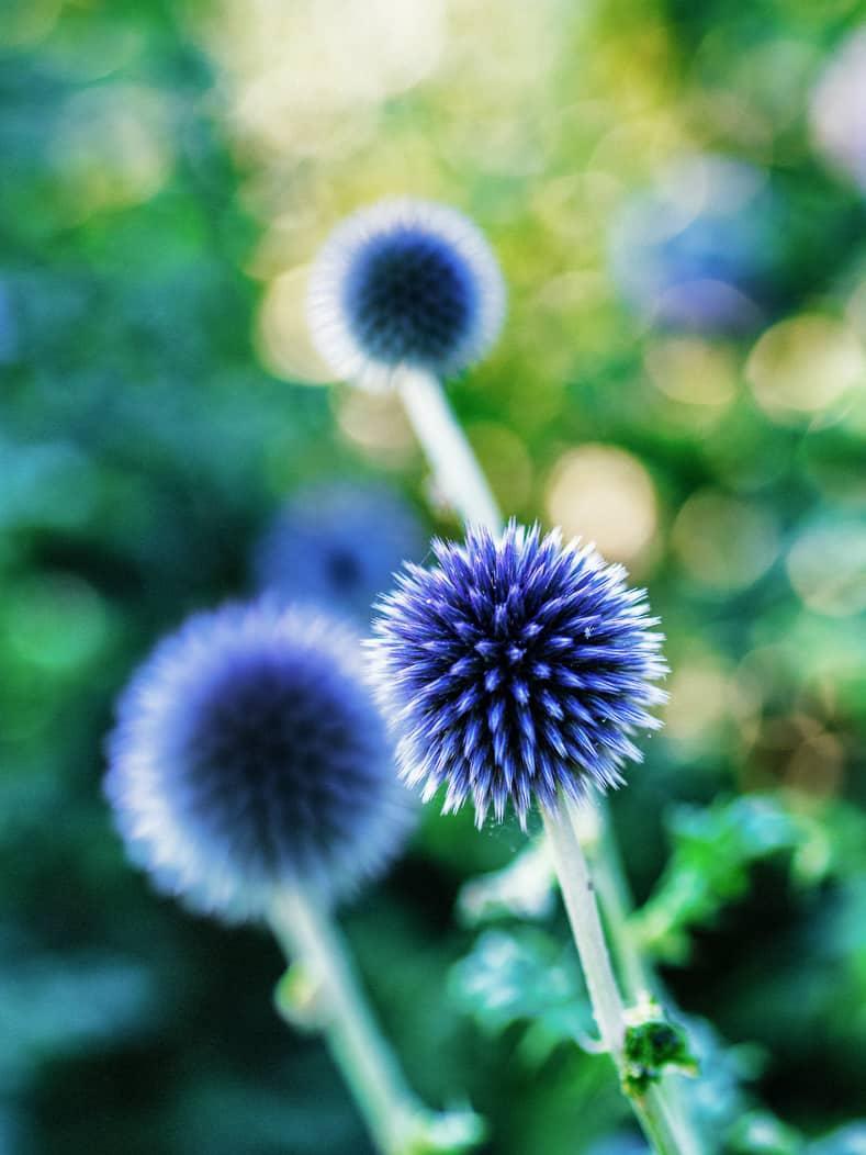 Globe Thistle blue flowers (Echinops bannaticus) ©xxsalguodxx - stock.adobe.com