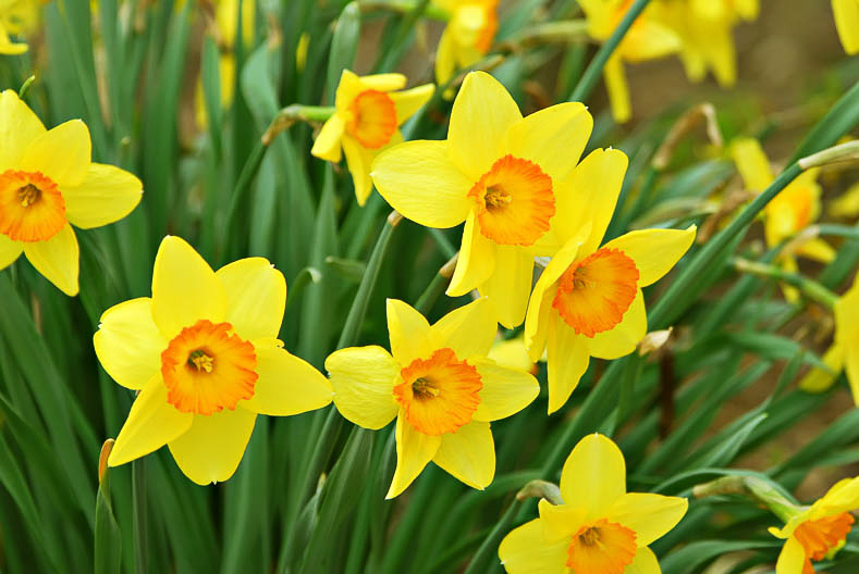 Beautiful daffodils blooming in the spring.