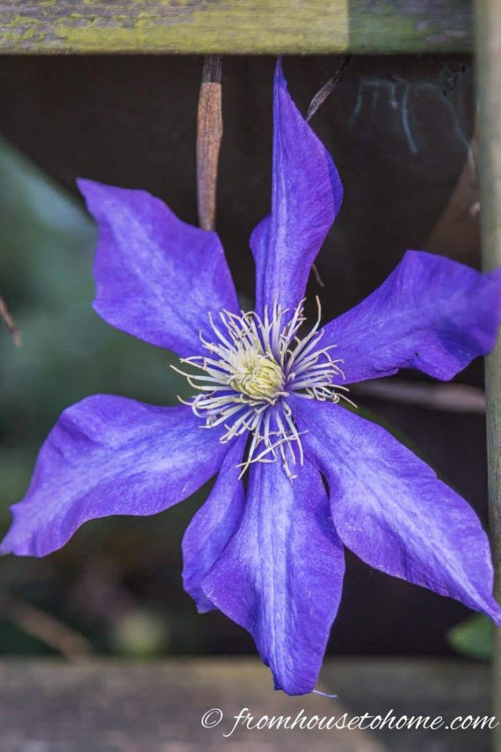 Clematis vine has beautiful flowers and grows in the shade