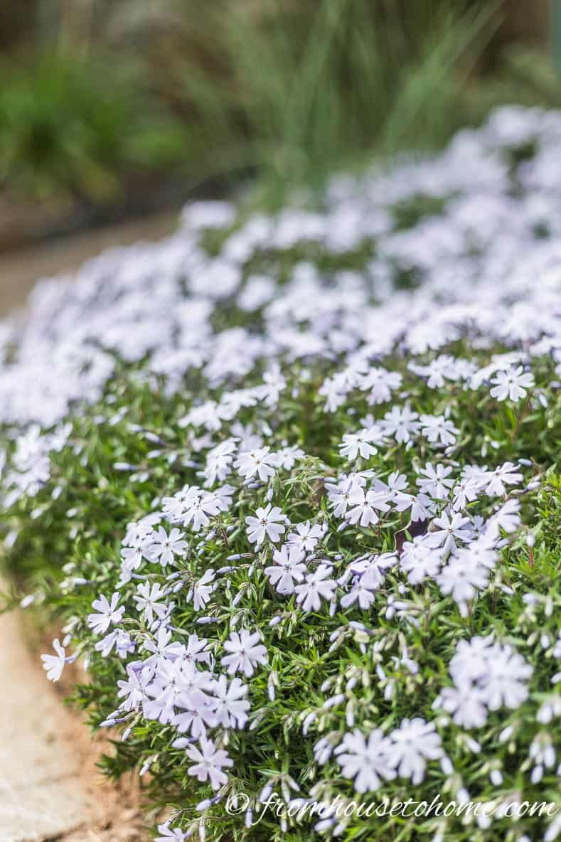 Phlox subulata with blue flowers