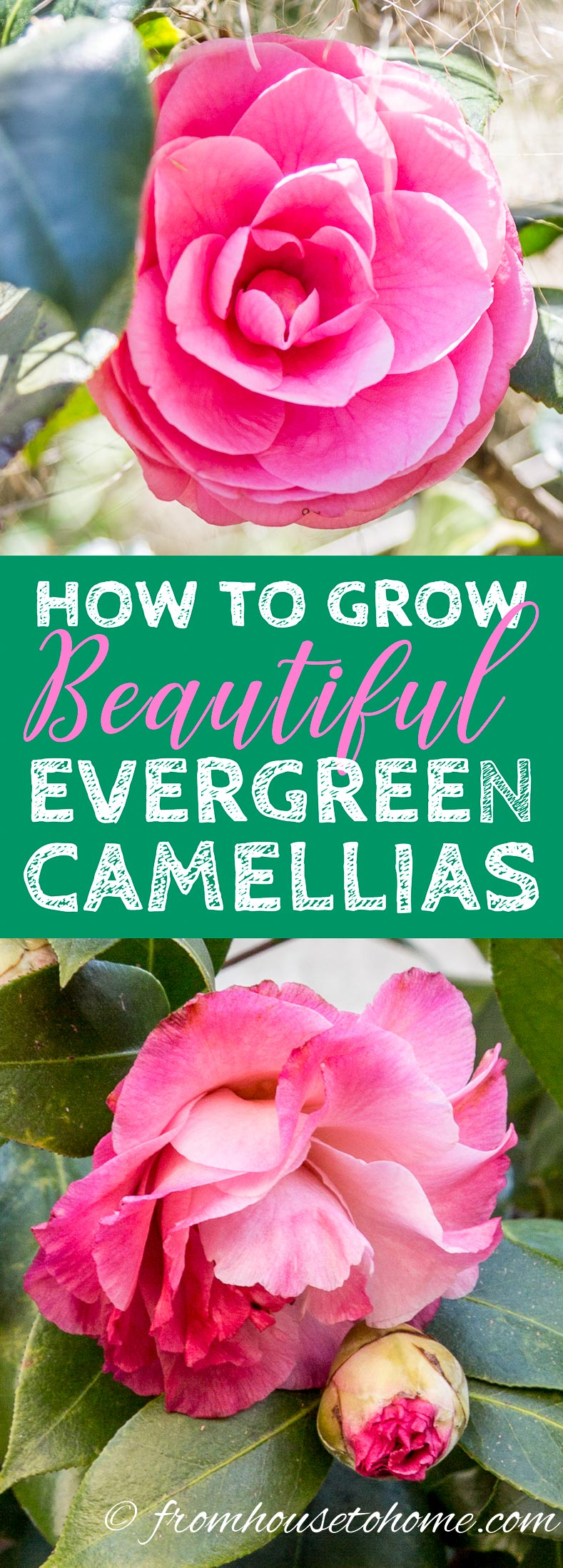 Camellia Care Guide: How To Grow Camellias
