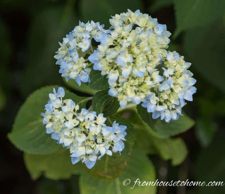 Perennials With Blue Flowers - Endless Summer Hydrangea