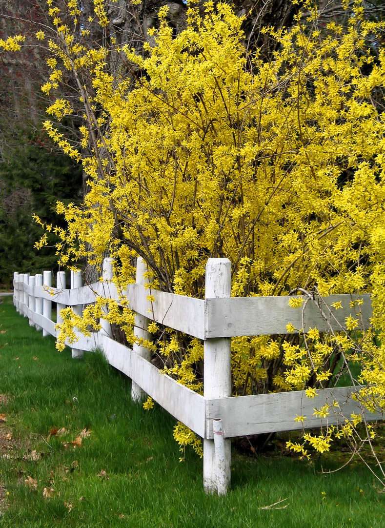 Early blooming Forsythia