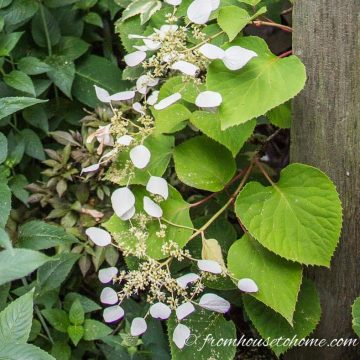 Perennial flowering vines for shade - Japanese climbing hydrangea
