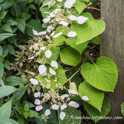 Perennial flowering vines for shade - Japanese climbing hydrangea