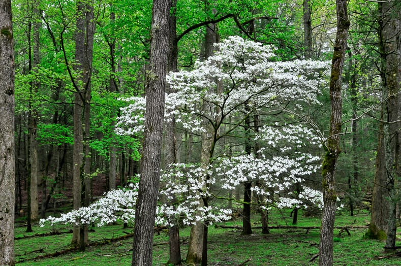 Native dogwood in spring | © Randy C. Anderson - stock.adobe.com