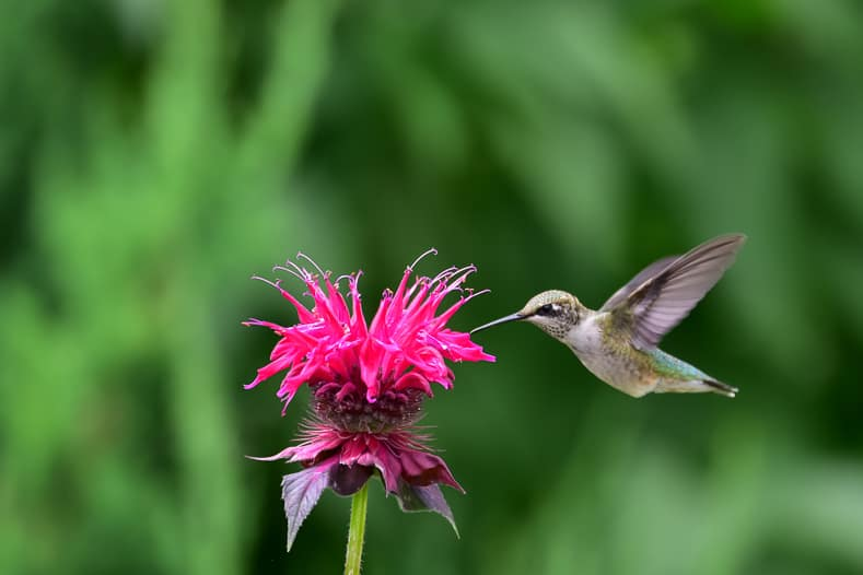 Ruby-throated hummingbird feeding on monarda © Dave Nelson - stock.adobe.com