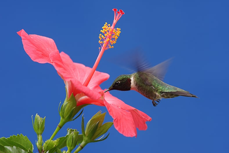 Hummingbirds love hibiscus ©Steve Byland - stock.adobe.com