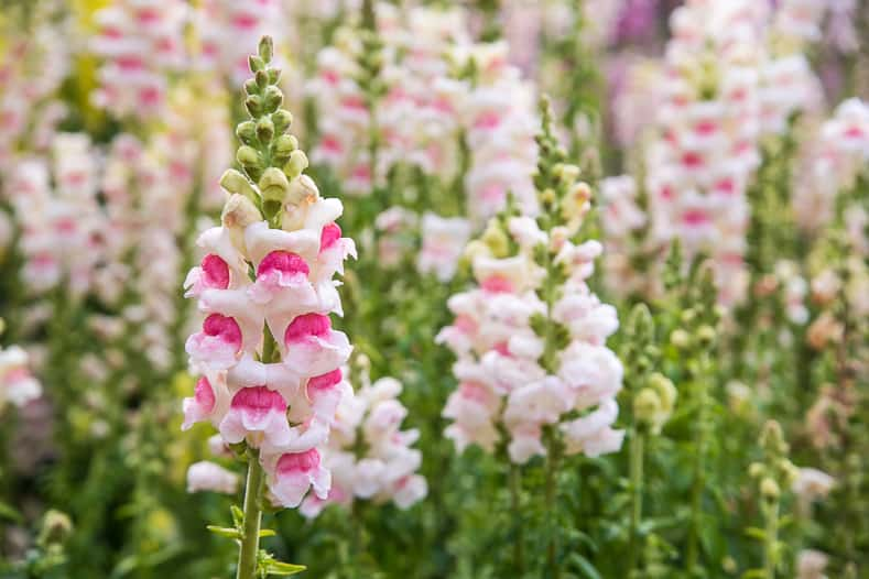 Snap dragons is one of the annuals that attracts hummingbirds