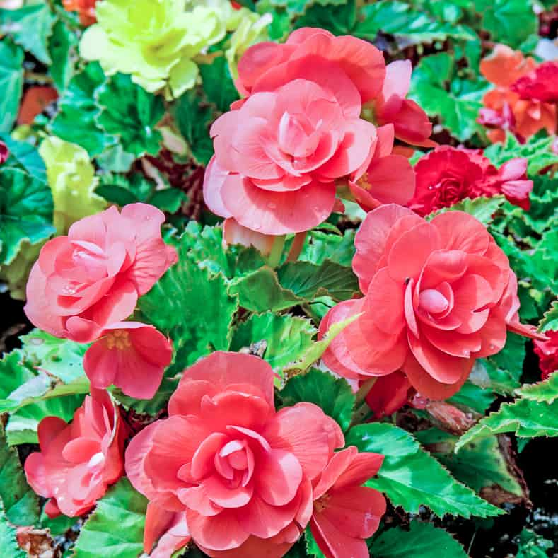 Begonias are one of the hanging plants that attract hummingbirds
