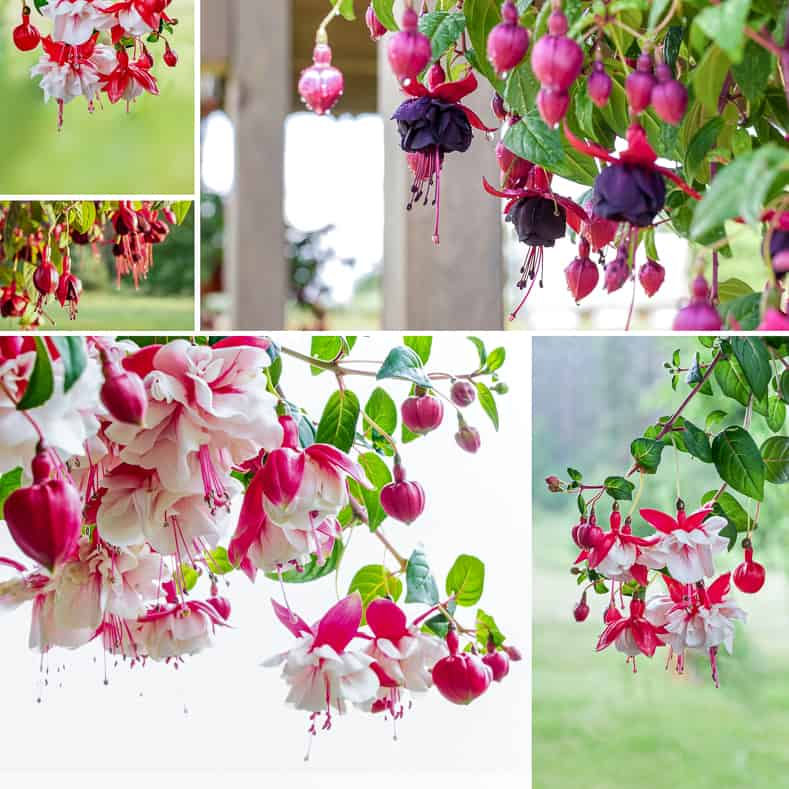 Fuchsia is one of the hanging plants that attracts hummingbirds