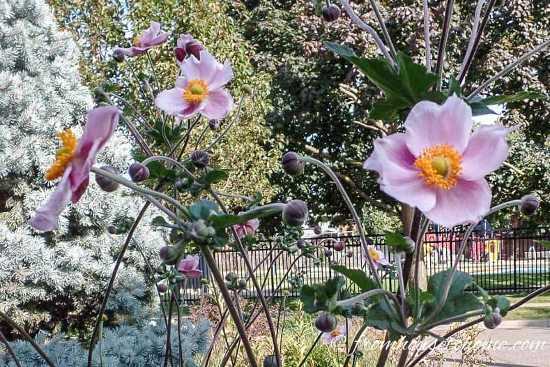 Japanese Anemones prefer part shade