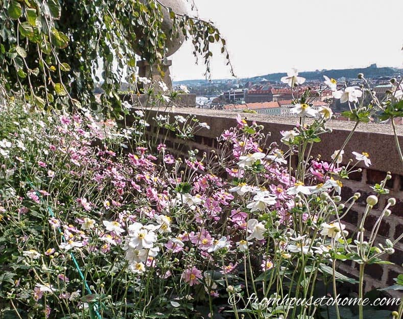 Japanese Anemones as a border